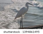 White Stork Standing With Wave...