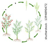 life cycle of a asparagus plant ...   Shutterstock .eps vector #1394890472