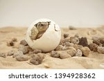 Stock photo africa spurred tortoise are born naturally tortoise hatching from egg cute portrait of baby 1394928362