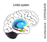 limbic system. cross section of ... | Shutterstock . vector #1395036428