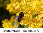 a carpenter bee collects honey...   Shutterstock . vector #1395080072