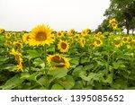 many sunflowers on a field   Shutterstock . vector #1395085652