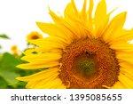 many sunflowers on a field   Shutterstock . vector #1395085655