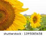 many sunflowers on a field   Shutterstock . vector #1395085658