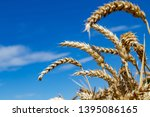 a field with wheat in front of...   Shutterstock . vector #1395086165