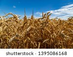 a field with wheat in front of...   Shutterstock . vector #1395086168