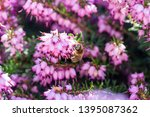 a bee collects honey on a...   Shutterstock . vector #1395087362
