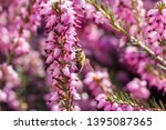 a bee collects honey on a...   Shutterstock . vector #1395087365
