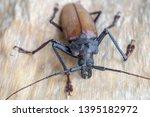 giant fijian longhorn beetle... | Shutterstock . vector #1395182972