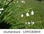 Snowflake Flowers In Spring....