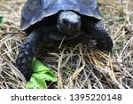 Stock photo the asian forest tortoise manouria emys also known as the asian brown tortoise 1395220148