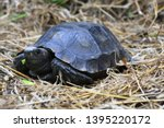 Stock photo the asian forest tortoise manouria emys also known as the asian brown tortoise 1395220172