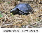 Stock photo the asian forest tortoise manouria emys also known as the asian brown tortoise 1395220175