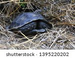 Stock photo the asian forest tortoise manouria emys also known as the asian brown tortoise 1395220202