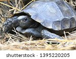 Stock photo the asian forest tortoise manouria emys also known as the asian brown tortoise 1395220205