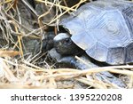 Stock photo the asian forest tortoise manouria emys also known as the asian brown tortoise 1395220208