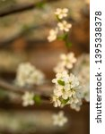 blooming plum tree closeup.... | Shutterstock . vector #1395338378