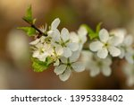 blooming plum tree closeup.... | Shutterstock . vector #1395338402