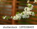 blooming plum tree closeup.... | Shutterstock . vector #1395338405