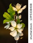 blooming plum tree closeup.... | Shutterstock . vector #1395338408