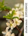 blooming plum tree closeup.... | Shutterstock . vector #1395338432