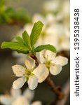 blooming plum tree closeup.... | Shutterstock . vector #1395338438