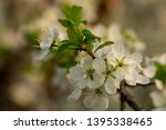 blooming plum tree closeup.... | Shutterstock . vector #1395338465