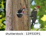 Pileated Woodpecker  Dryocopus...