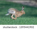 Stock photo european hare running on lush green grass 1395441902