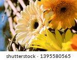 close up of some gerbera... | Shutterstock . vector #1395580565