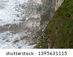 A Guillemot Standing On A Cliff ...