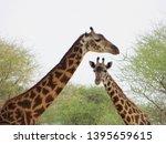giraffes  kruger national park  ... | Shutterstock . vector #1395659615