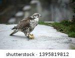 saker falcon sits close up | Shutterstock . vector #1395819812