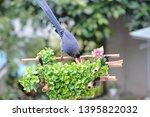 taiwan blue magpie  urocissa...   Shutterstock . vector #1395822032