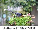 taiwan blue magpie  urocissa...   Shutterstock . vector #1395822038