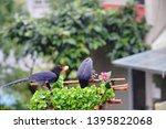 taiwan blue magpie  urocissa...   Shutterstock . vector #1395822068