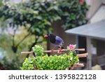 taiwan blue magpie  urocissa...   Shutterstock . vector #1395822128