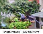taiwan blue magpie  urocissa...   Shutterstock . vector #1395834095