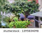 taiwan blue magpie  urocissa...   Shutterstock . vector #1395834098