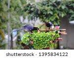 taiwan blue magpie  urocissa...   Shutterstock . vector #1395834122