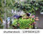 taiwan blue magpie  urocissa...   Shutterstock . vector #1395834125