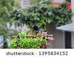 taiwan blue magpie  urocissa...   Shutterstock . vector #1395834152