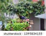 taiwan blue magpie  urocissa...   Shutterstock . vector #1395834155
