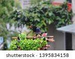 taiwan blue magpie  urocissa...   Shutterstock . vector #1395834158