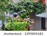 taiwan blue magpie  urocissa...   Shutterstock . vector #1395834182