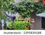 taiwan blue magpie  urocissa...   Shutterstock . vector #1395834188