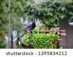 taiwan blue magpie  urocissa...   Shutterstock . vector #1395834212