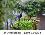 taiwan blue magpie  urocissa...   Shutterstock . vector #1395834215