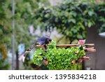 taiwan blue magpie  urocissa...   Shutterstock . vector #1395834218