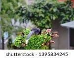 taiwan blue magpie  urocissa...   Shutterstock . vector #1395834245